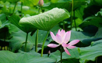 Lotus flowers, plants, leaves