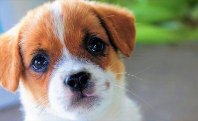 Cute puppy, stare, pet, muzzle