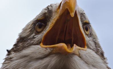 Bald eagle, open mouth, beak, close up