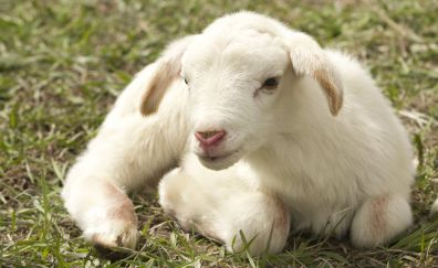 Lamb, farm sheep, cute animal