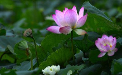 Pink lotus, flower of lake, leaves