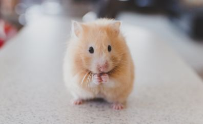 Cute Hamster Rodent