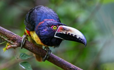 Colorful bird, tree branch, toucan, bird