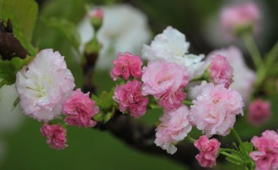 Cherry blossom, spring, flowers, water drops