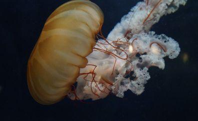 Yellow jellyfish, fish, underwater