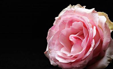 Rose, pink flower, close up