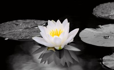 White water lily, flowers, pond, 4k