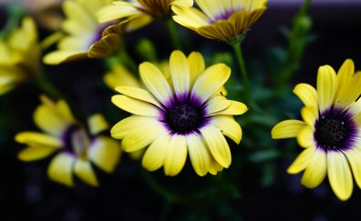Daisy, blossom, yellow flowers, close up