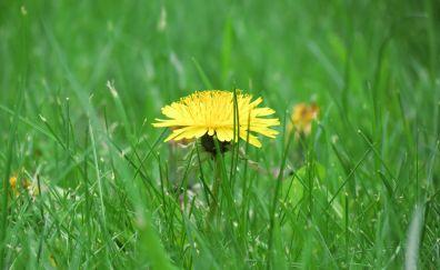 Buttercup flower, grass, meadow