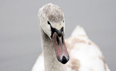 Swan, love bird, muzzle, 4k