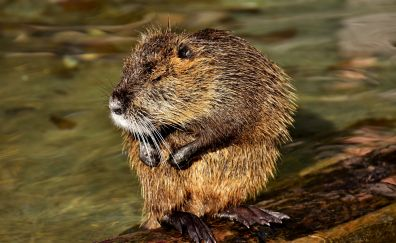 Water rat, rodent, animals, 5k