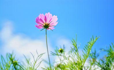 Pink cosmos, meadow, plants, flowers, spring, 4k