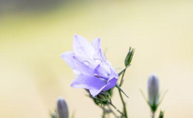 Bluebell, blue flowers, bloom, drops
