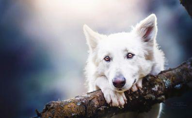 White shepherd, dog, pet, animal, muzzle