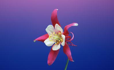 ios 11, flowers, aquilegia