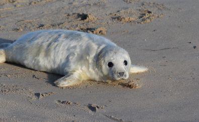 Cute, white, baby seal, beach, sand