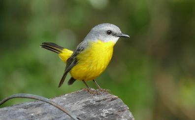 breasted robin, yellow bird, small