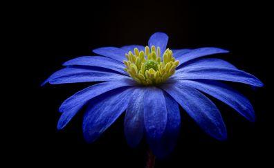 Blue, Gerbera, flower, portrait