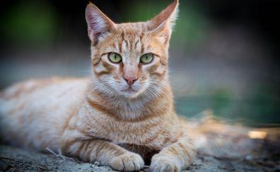 Confident, animal, orange cat, sit