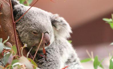 Koala, animal, sleeping