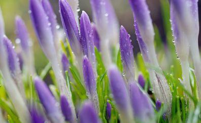 Purple crocus, spring, water drops, flowers