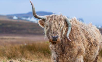 Bull horns animal