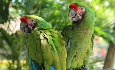 Macaw, green red parrot, pair