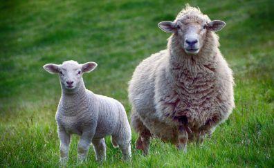 Sheep, animals, meadow, stare