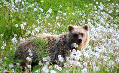 Brown, young bear, flowers, dandelion, meadow