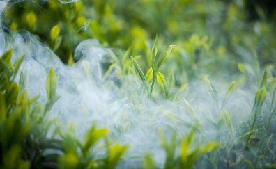 Tea, plants, leaves, smoke