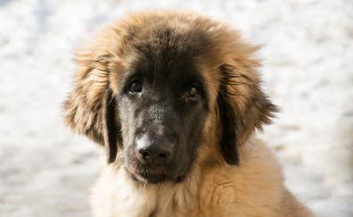 Leonberger Dog puppy, animal