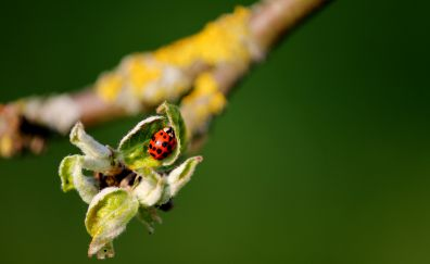 Ladybug, leaf, flower buds