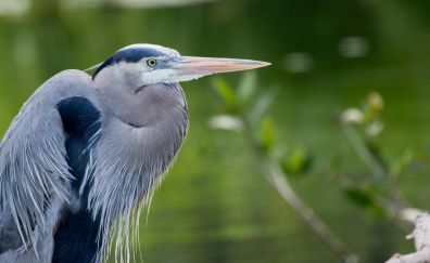 Blue heron, water bird, beak