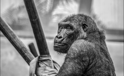 Gorilla, monkey, animal, wildlife, monochrome