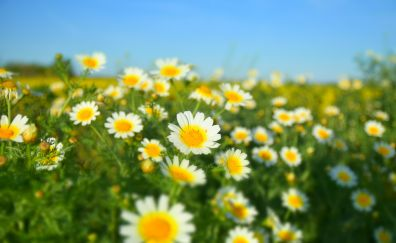Margaritas, Common daisy, flowers, spring, meadow