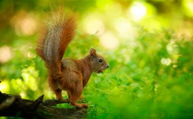 Rodent, squirrel, small animal