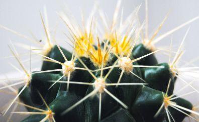 Cactus, thorns, plants, close up