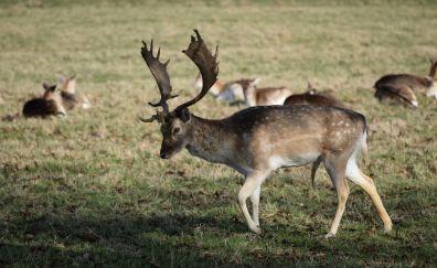 Horns, deer, herds, animal, meadow