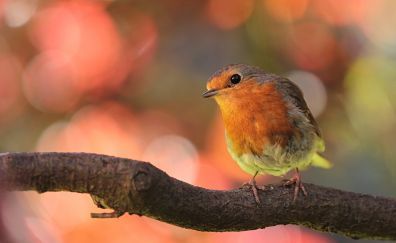 Robin bird, cute bird, siting