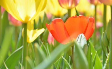 Tulip flowers, garden, red, yellow