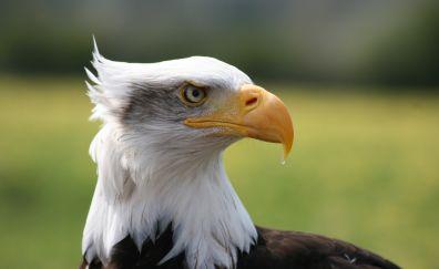 Eagle muzzle, beak, predator