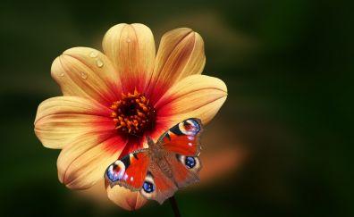 Bloom, butterfly, flower, drops