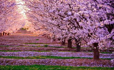 Pink flowers, blossom, tree
