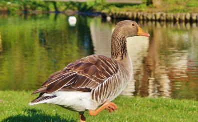 Goose, walk, lake, bird, brown