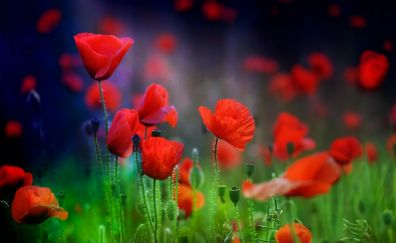 Poppy farm, flowers, red, plants