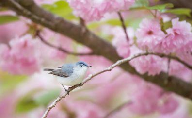 Pink, blossom, blue tit, bird