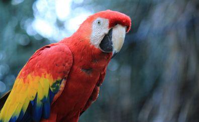Parrot, red macaw, bird, 4k