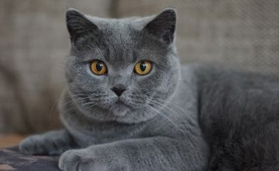 Grey, cat, British Shorthair