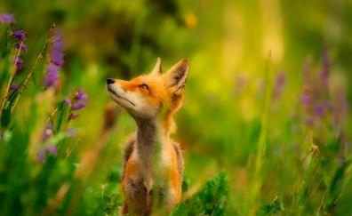 Red fox, looking away, animal, plants