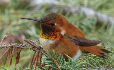 Hummingbird, close up, 4k